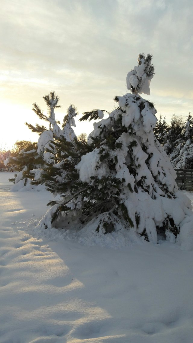 Trees we planted are bearing the weight of a late spring snow storm.